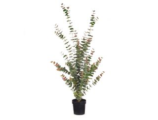 Native Dollar Tree - Grey Red - 1.4m
